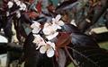 발랑 까진 철없는 봄꽃... 자두꽃-명자꽃 피어