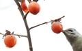 [사진] 쫀득한 홍시 쪼아 먹는 청딱따구리