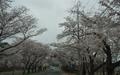 [사진] 만우절, 경주 벚꽃... 거짓말같이 만개했어요