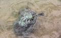 [사진] 등에 녹조 덮어쓴 낙동강 거북이