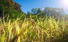 벼농사꾼이 쌀을 사서 먹는 이유