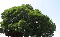 [모이] 수령 250년 된 팽나무입니다