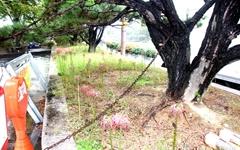 [카메라 고발] 쇠사슬에 묶인 소나무