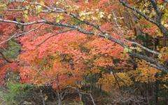 서리에 물든 단풍잎이 봄꽃보다 더 붉다