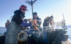 영덕바다의 매력 '대게'... 맛있게 먹는 법 4가지
