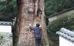 쓰시마섬에서 거대 삼나무에 반하다