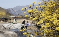 산수유 마을은 지금 한 폭의 수채화
