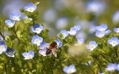 [사진] 봄 내음에 바쁜 꿀벌