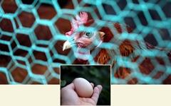'살충제 검출' 달걀 뉴스 나오던 날, 날달걀을 먹다