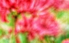 [포토] 선진리성·수양공원 꽃무릇으로 물들다