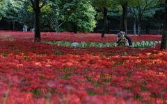 붉디붉은 '꽃무릇'으로 유혹하는 절집