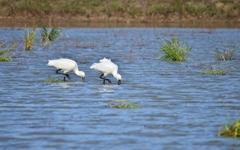 금강에 살던 노랑부리저어새가 왜 장남평야에?
