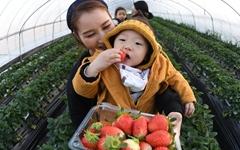 [사진] 거창, 딸기 따기 체험