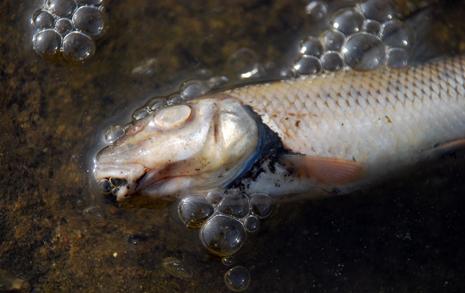 허벅지만 한 잉어 둥둥  공주보 물고기 '떼죽음'