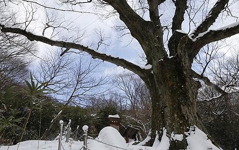 '해를 붙잡아 두었다'는 전라도 천년나무