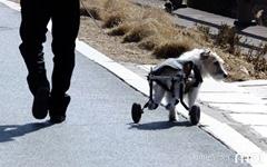[모이] 산책길에서 만난 휠체어 탄 반려견