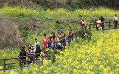 서귀포유채꽃 국제걷기대회를 아시나요?