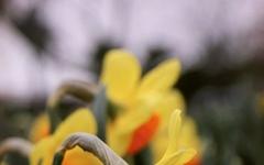 신비, 자존심, 고결의 꽃말을 가진 수선화
