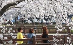 [사진] '벚꽃 천지' 된 광주 운천지