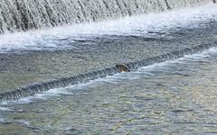 [사진] 수중보를 넘어라! 산란을 위한 대구 신천 잉어들의 사투