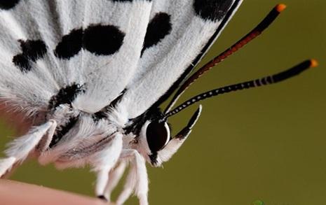 [순간포착] 고기 맛을 아는 나비가 살다니