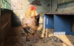 5일째 알을 낳지 않는 닭, 바싹 마른 도라지