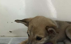 무더위 속 길바닥에서 죽어가던 3개월령 아기 황구