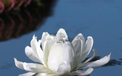 화려한 자태 뽐내는 빅토리아 연꽃