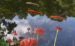 끝이 안 보이는 붉은 꽃밭... 멀미날 정도로 아름답다