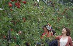 올 봄 분양받은 사과나무에 사과가 주렁주렁