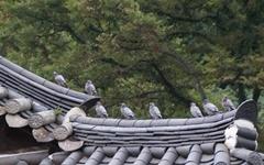 멸종 위기 토종 텃새 '낭비둘기'를 아시나요?