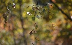 자작나무 숲을 거닐다가 '연애편지'를 만나다