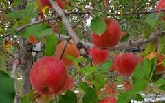 심장처럼 붉은 사과가 주렁주렁