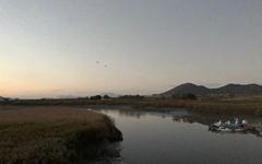 [모이] 순천만습지의 새벽, 그리고 철새들의 비행