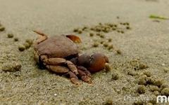 [모이] 바다를 깨끗하게 하는 작은 게들의 똥