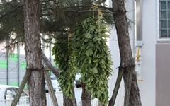 [모이] 도심 아파트 소나무에 걸어둔 무청 시래기