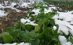 추위를 이겨낸 채소가 맛있는 이유