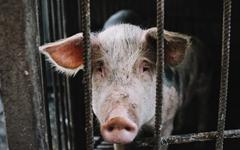 복을 주는 돼지, 고기가 되는 돼지