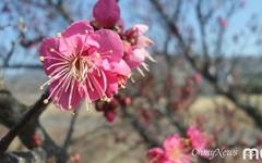 [모이] 톡톡 터진 홍매화, 섬진강에 봄이 왔습니다