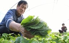 [사진] 봄 입맛 돋굴 '거창 곤달비' 수확