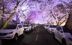[모이] 천년고도 경주, 국내 최대 규모의 벚꽃 축제기간 확정