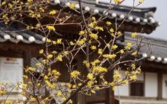 [사진] 구례 운조루 고택에서 들려오는 봄꽃 소식