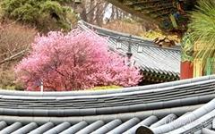 [사진] 서울에도 홍매화가 활짝