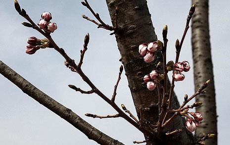개화 임박... 경주 벚꽃에 취할 준비 되셨나요?
