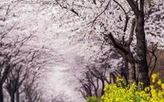 [서산 벚꽃] 꽃비 맞으러 떠나자