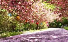 [서산벚꽃] 성당, 사찰, 가옥에도 봄꽃이