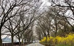[모이] 벚꽃보다 먼저 핀 섬진강 개나리
