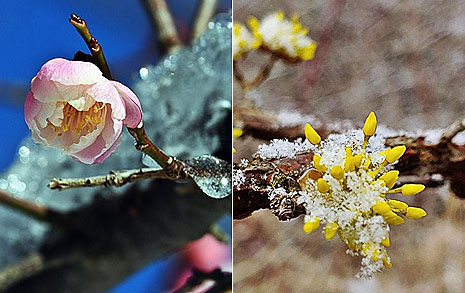 꽃 소식 지천인데.... 봄눈 보고 싶다면 이곳으로