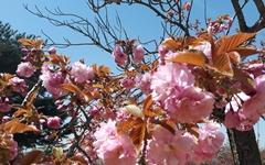 벚꽃이 지면... 경주에는 겹벚꽃이 피어요