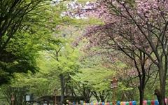 [모이] 연둣빛 신록 사이에 핀 분홍빛 겹벚꽃